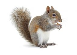 Squirrel pest control uk